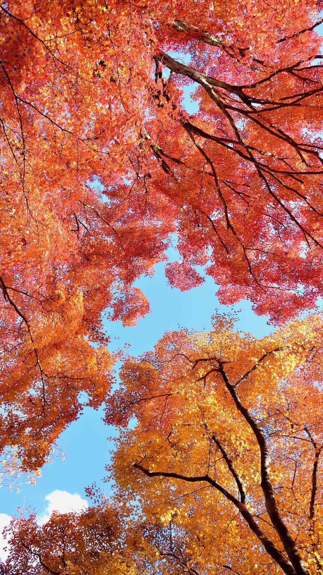 秋天唯美枫叶图片安卓壁纸9